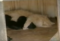 Cat Nurses Puppies
