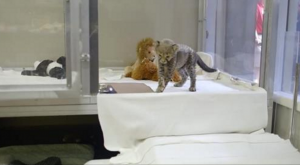 dog and cheetah friendship video
