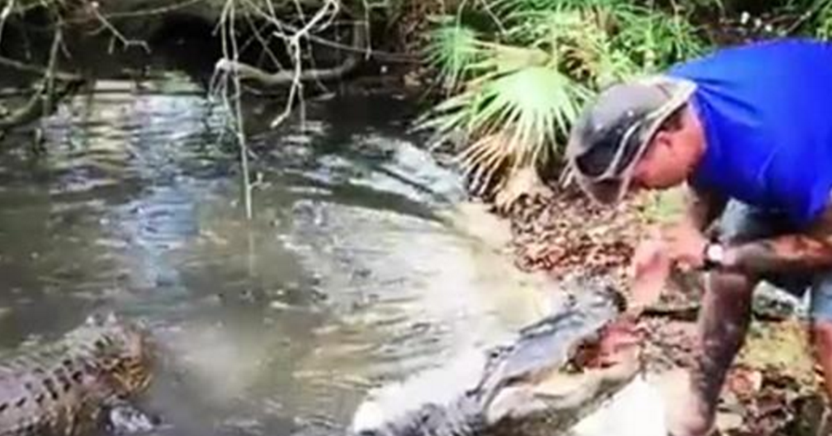 feeding alligator video