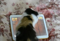 kitten plays tablet