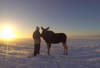 man wild moose calf friendship