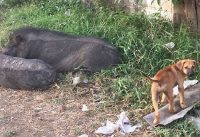 Homeless Puppy Living Among Pigs
