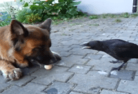 dog and crow video