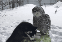 puppy and owl video