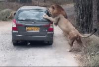 lion attack video
