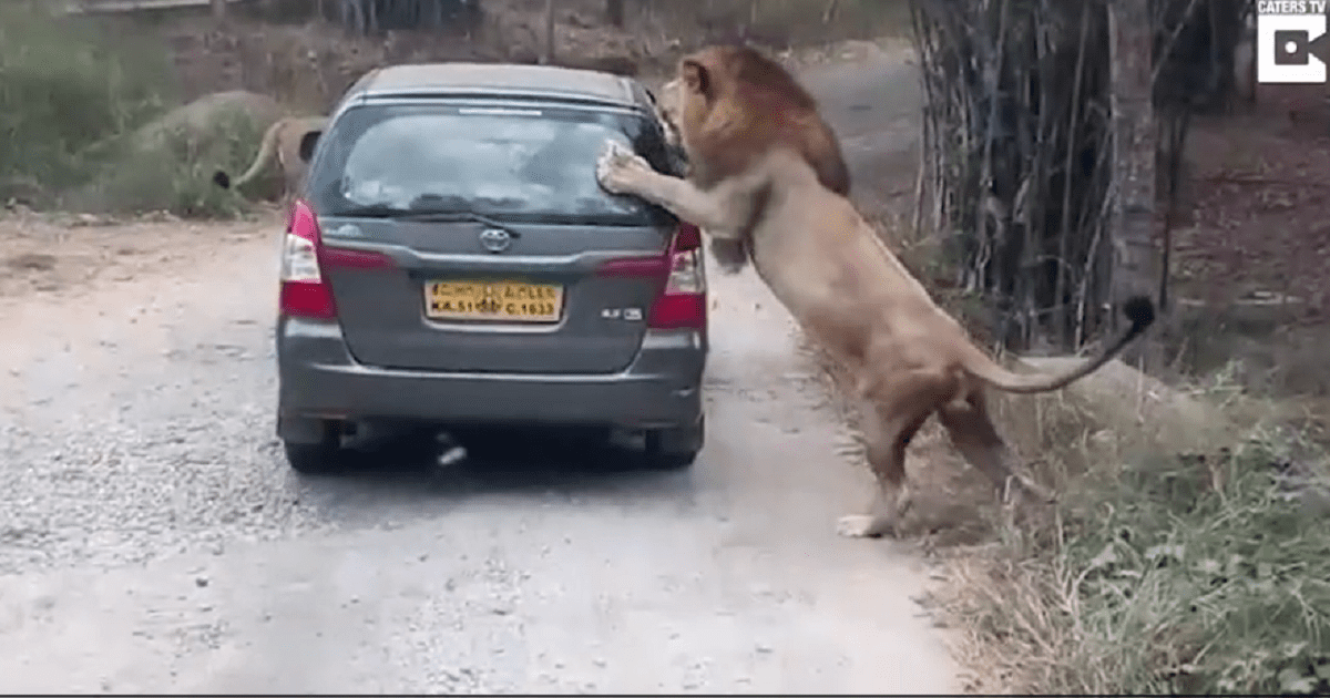 lion attack video