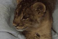 lion cub video