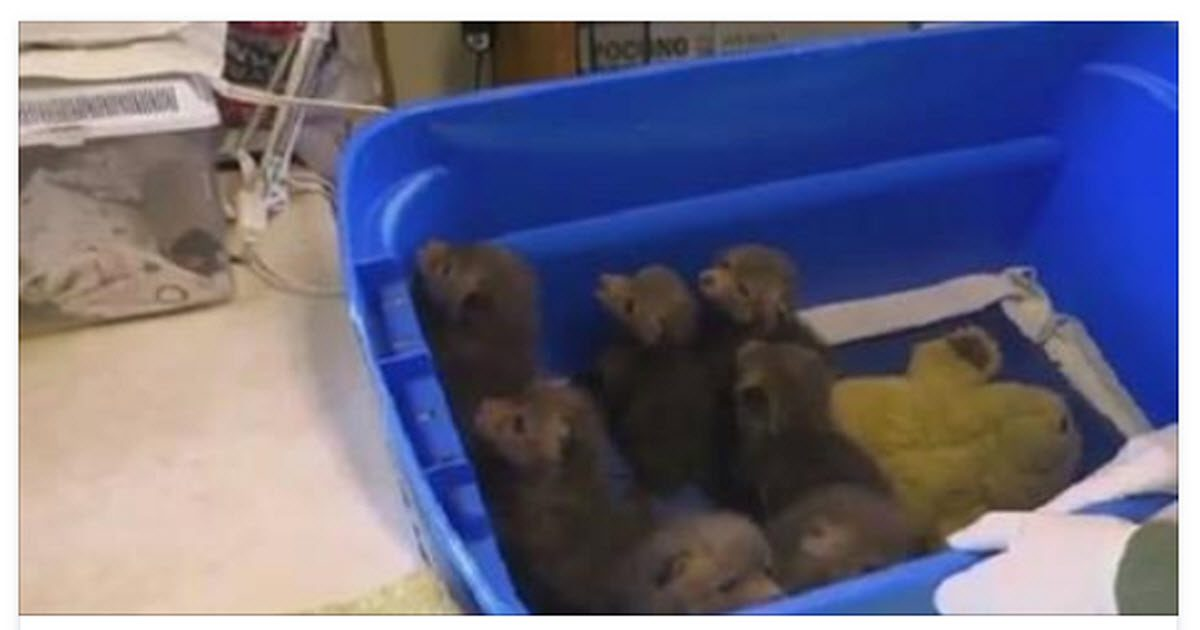 fox cubs video
