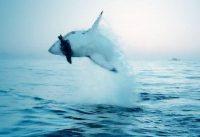 white shark video