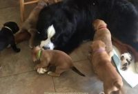 Barmese mountain dog video