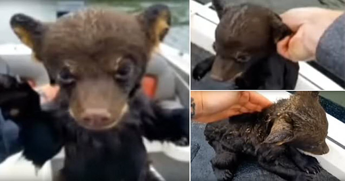 baby bear cub rescue video