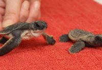 baby sea turtles video
