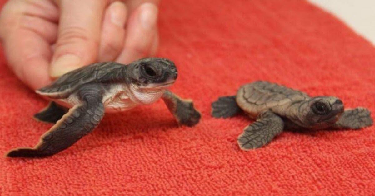 baby sea turtles video