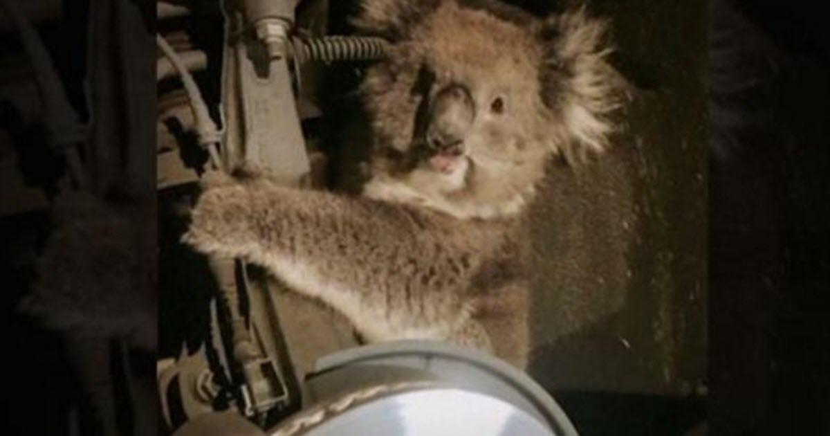 koala rescue video